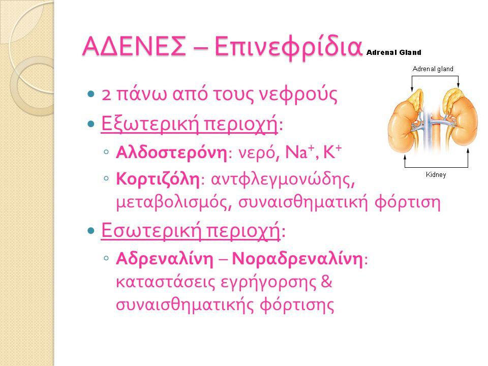 ΑΔΕΝΕΣ – Επινεφρίδια 2 πάνω από τους νεφρούς Εξωτερική περιοχή : ◦ Αλδοστερόνη : νερό, Na +, K + ◦ Κορτιζόλη : αντφλεγμονώδης, μεταβολισμός, συναισθηματική φόρτιση Εσωτερική περιοχή : ◦ Αδρεναλίνη – Νοραδρεναλίνη : καταστάσεις εγρήγορσης & συναισθηματικής φόρτισης