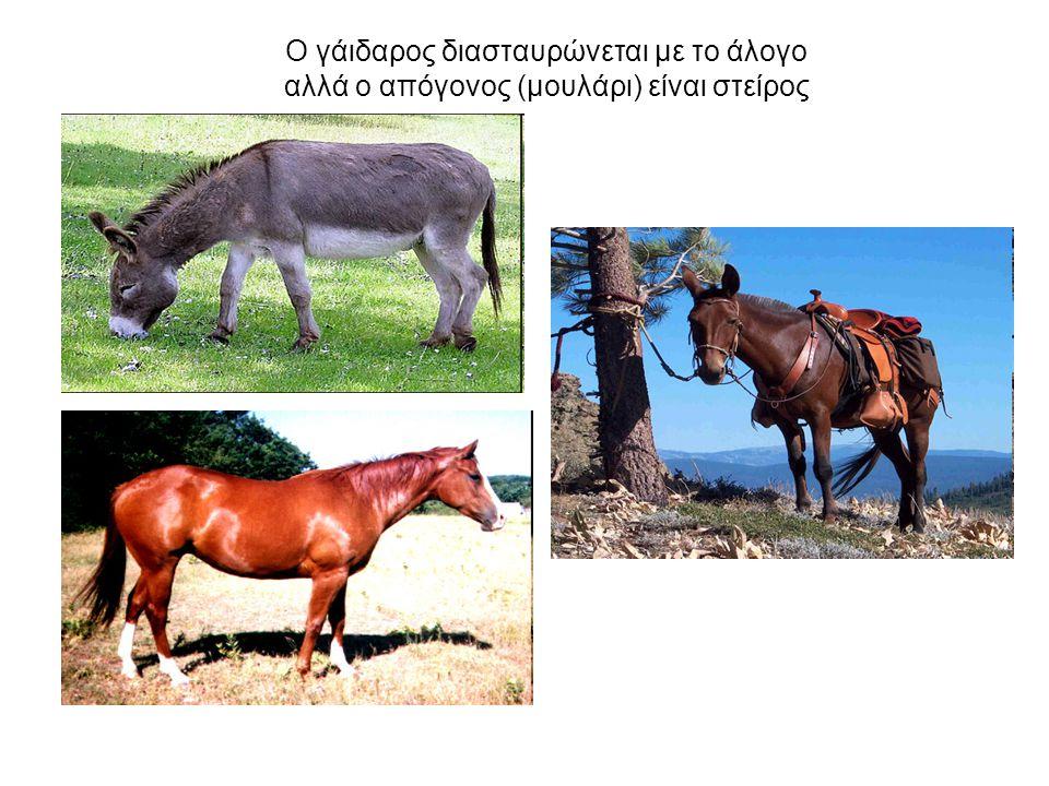 Ο γάιδαρος διασταυρώνεται με το άλογο αλλά ο απόγονος (μουλάρι) είναι στείρος