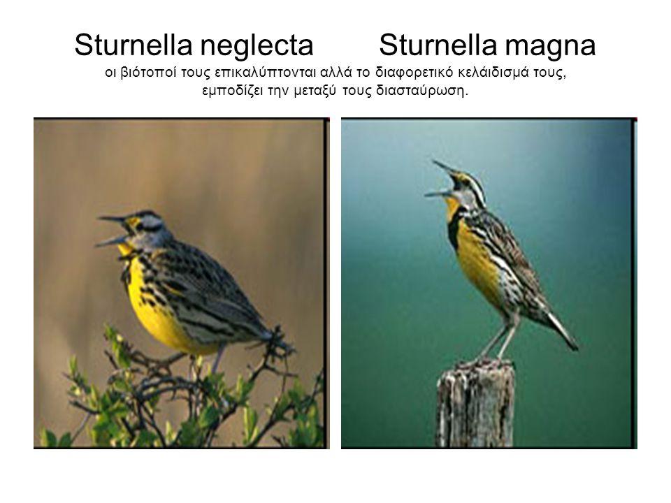 Sturnella neglecta Sturnella magna οι βιότοποί τους επικαλύπτονται αλλά το διαφορετικό κελάιδισμά τους, εμποδίζει την μεταξύ τους διασταύρωση.