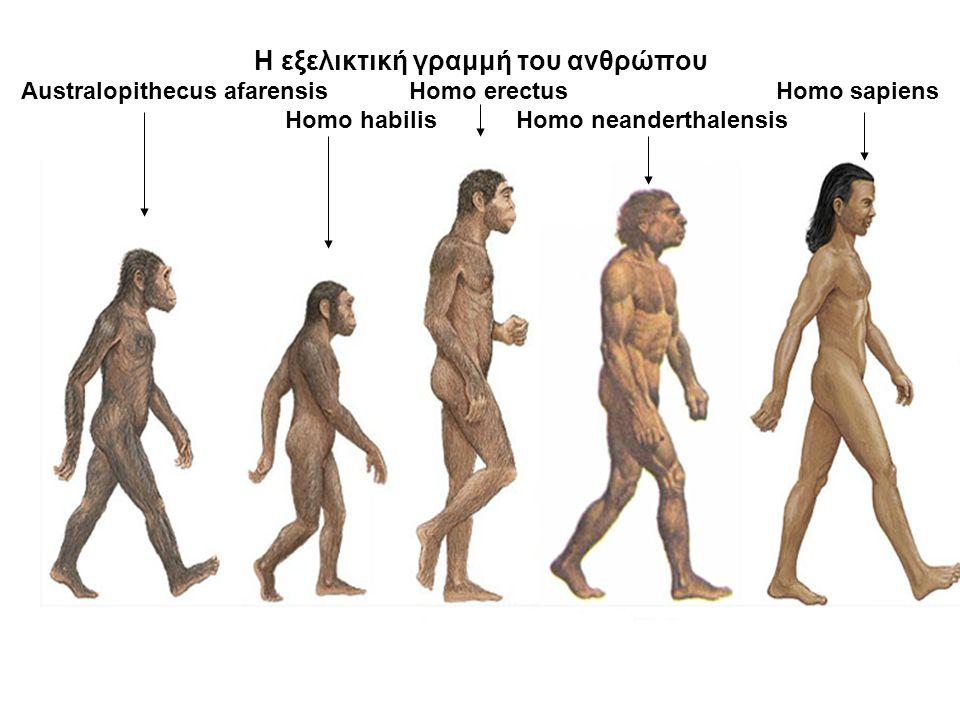 Η εξελικτική γραμμή του ανθρώπου Australopithecus afarensis Homo erectus Homo sapiens Homo habilis Homo neanderthalensis