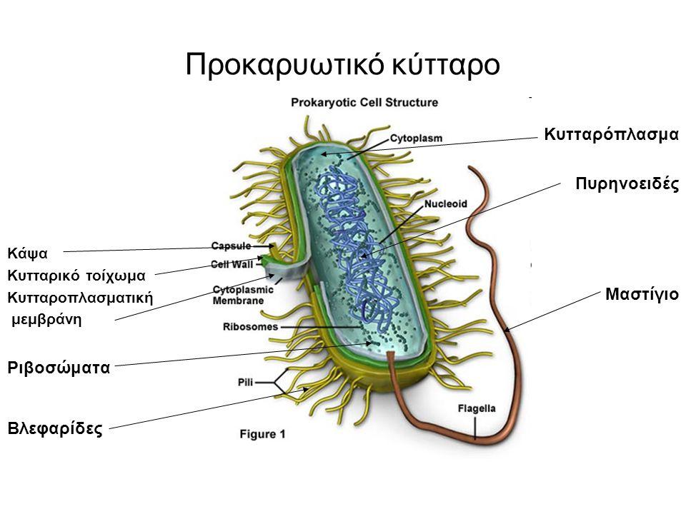 Προκαρυωτικό κύτταρο Κάψα Κυτταρικό τοίχωμα Κυτταροπλασματική μεμβράνη Ριβοσώματα Βλεφαρίδες Κυτταρόπλασμα Πυρηνοειδές Μαστίγιο