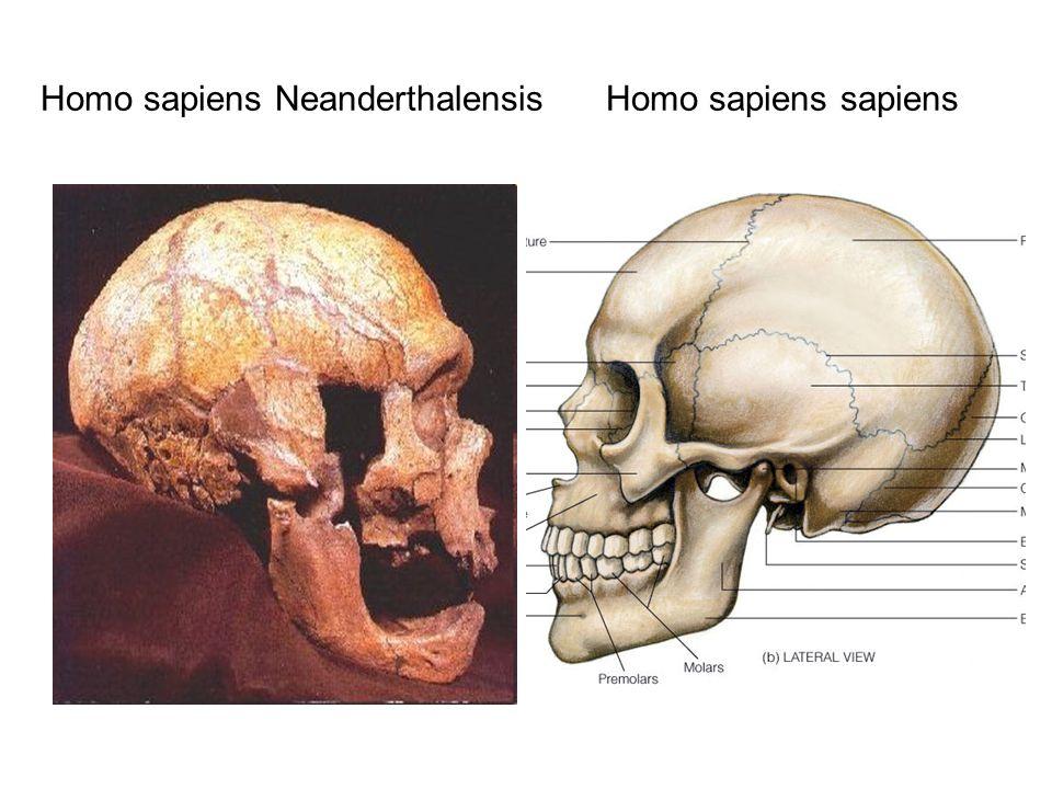Homo sapiens Νeanderthalensis Homo sapiens sapiens