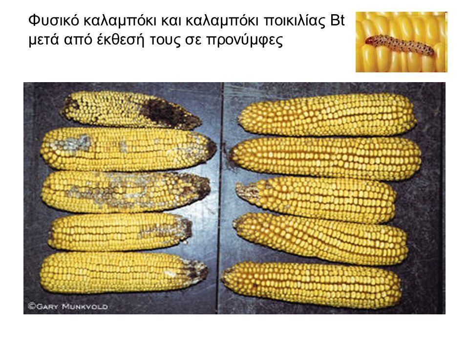 Φυσικό καλαμπόκι και καλαμπόκι ποικιλίας Bt μετά από έκθεσή τους σε προνύμφες