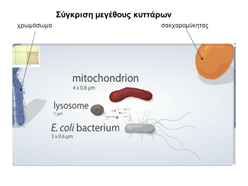 Σύγκριση μεγέθους κυττάρων Ζωικό κύτταρο Βακτηριοφάγος (ιός) Βακτήριο