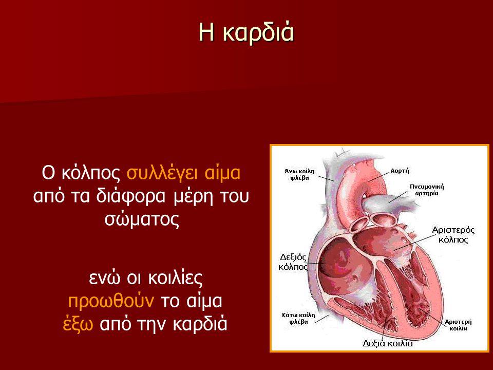 Η καρδιά Ο κόλπος συλλέγει αίμα από τα διάφορα μέρη του σώματος ενώ οι κοιλίες προωθούν το αίμα έξω από την καρδιά
