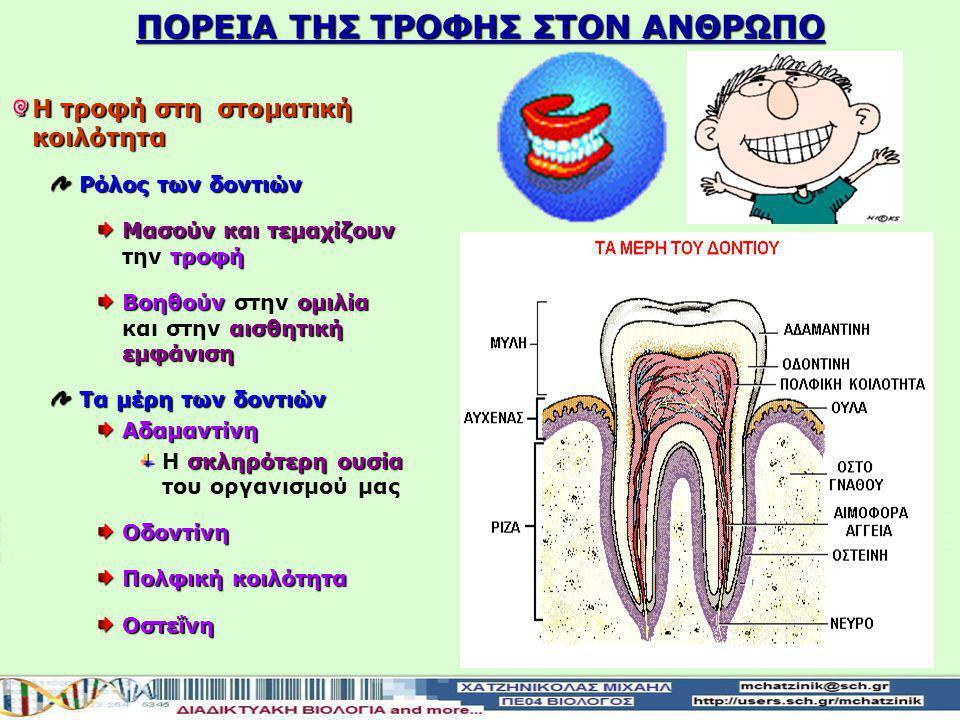 ΠΟΡΕΙΑ ΤΗΣ ΤΡΟΦΗΣ ΣΤOΝ ΑΝΘΡΩΠΟ Η τροφή στη στοματική κοιλότητα Ρόλος των δοντιών Μασούν και τεμαχίζουν τροφή Μασούν και τεμαχίζουν την τροφή Βοηθούν ομιλία αισθητική εμφάνιση Βοηθούν στην ομιλία και στην αισθητική εμφάνιση Τα μέρη των δοντιών Αδαμαντίνη σκληρότερη ουσία Η σκληρότερη ουσία του οργανισμού μαςΟδοντίνη Πολφικήκοιλότητα Πολφική κοιλότηταΟστεΐνη