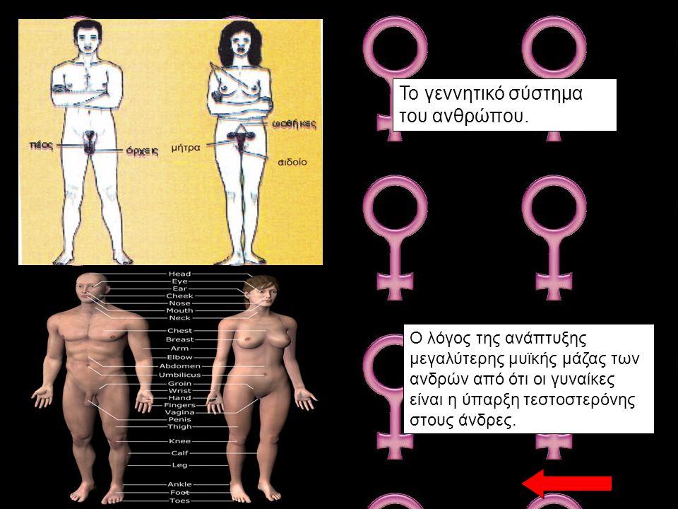Ο λόγος της ανάπτυξης μεγαλύτερης μυϊκής μάζας των ανδρών από ότι οι γυναίκες είναι η ύπαρξη τεστοστερόνης στους άνδρες. Το γεννητικό σύστημα του ανθρ