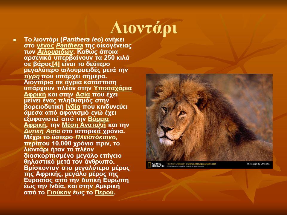 Λιοντάρι Το λιοντάρι (Panthera leo) ανήκει στο γένος Panthera της οικογένειας των Αιλουριδών. Καθώς άποια αρσενικά υπερβαίνουν τα 250 κιλά σε βάρος[4]