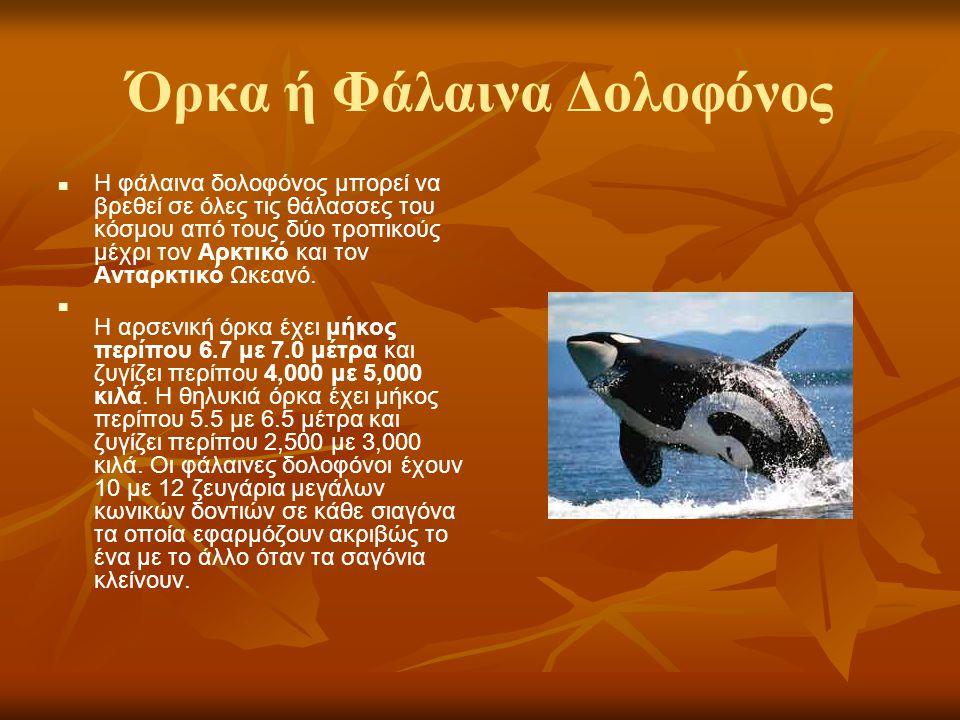 Όρκα ή Φάλαινα Δολοφόνος Η φάλαινα δολοφόνος μπορεί να βρεθεί σε όλες τις θάλασσες του κόσμου από τους δύο τροπικούς μέχρι τον Αρκτικό και τον Ανταρκτ