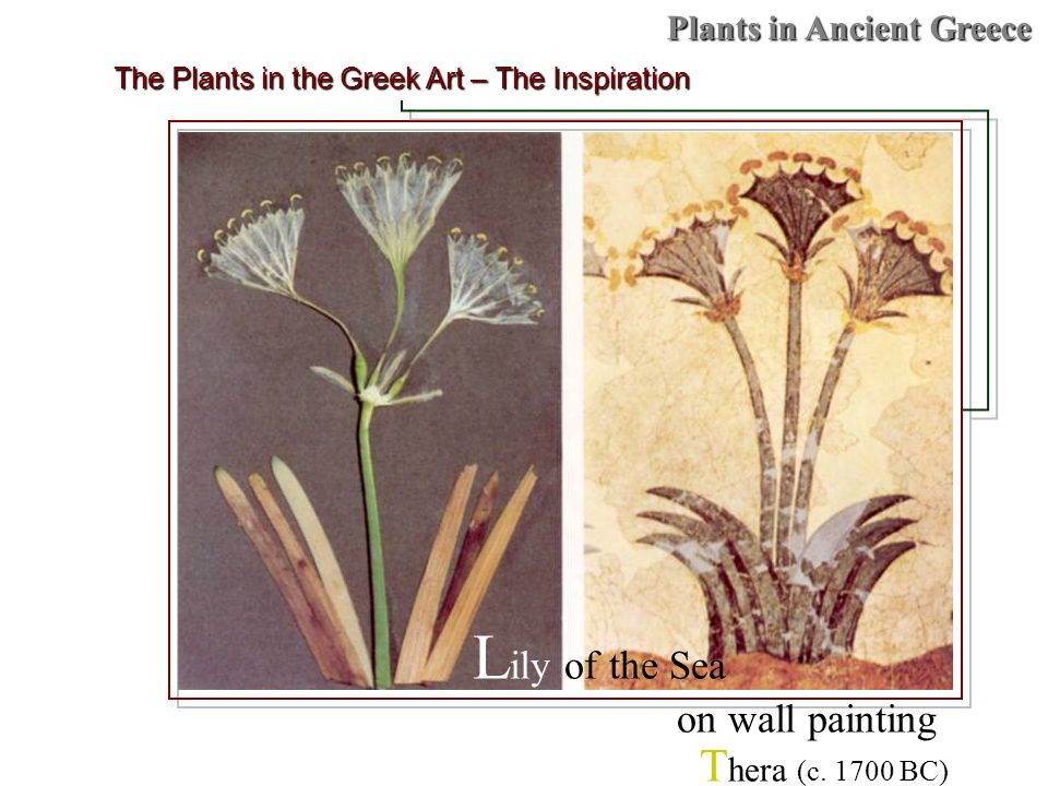 Plants in Ancient Greece The Plants in the Greek Art – The Inspiration L ily of the Sea on wall painting T hera (c.
