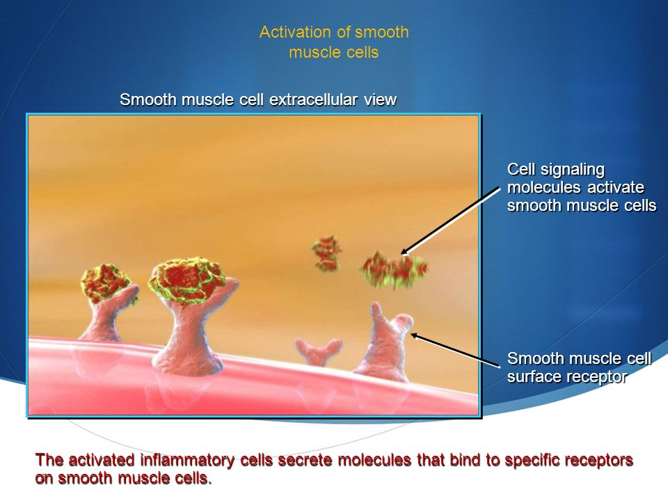 5 Activation of smooth muscle cells Cell signaling molecules activate smooth muscle cells Smooth muscle cell surface receptor The activated inflammatory cells secrete molecules that bind to specific receptors on smooth muscle cells.