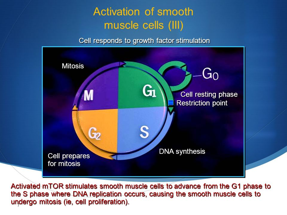 7 Activation of smooth muscle cells (III) Cell responds to growth factor stimulation DNA synthesis Cell prepares for mitosis Mitosis Cell resting phase Restriction point Activated mTOR stimulates smooth muscle cells to advance from the G1 phase to the S phase where DNA replication occurs, causing the smooth muscle cells to undergo mitosis (ie, cell proliferation).