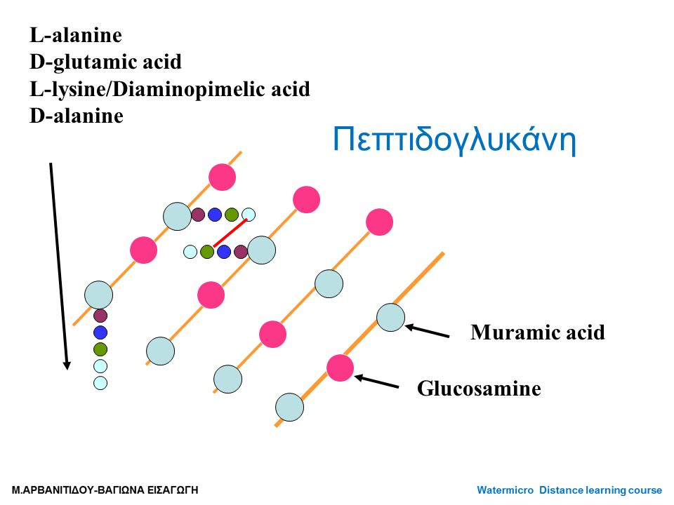 Πεπτιδογλυκάνη L-alanine D-glutamic acid L-lysine/Diaminopimelic acid D-alanine Muramic acid Glucosamine