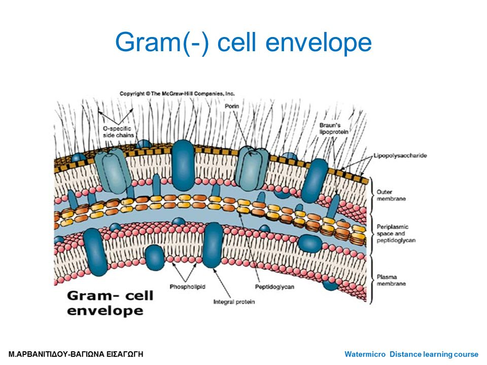 Gram(-) cell envelope