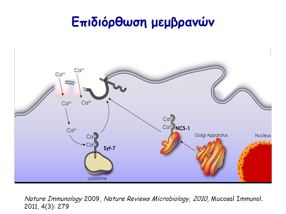 Επιδιόρθωση μεμβρανών Nature Immunology 2009, Nature Reviews Microbiology, 2010, Mucosal Immunol.