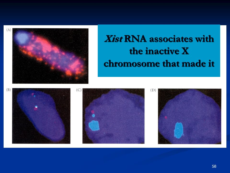 58 Xist RNA associates with the inactive X chromosome that made it