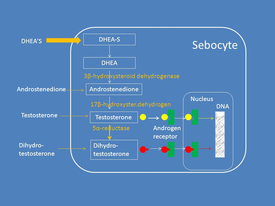 Sebocyte DHEA'S DHEA-S DHEA Androstenedione Dihydro- testosterone 3β-hydroxysteroid dehydrogenase Testosterone 17β-hydroxyster.dehydrogen Androstenedione Testosterone Dihydro- testosterone 5α-reductaseΑndrogen receptor Nucleus DNA