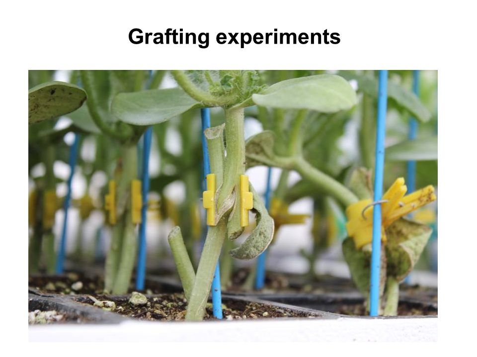 Grafting experiments