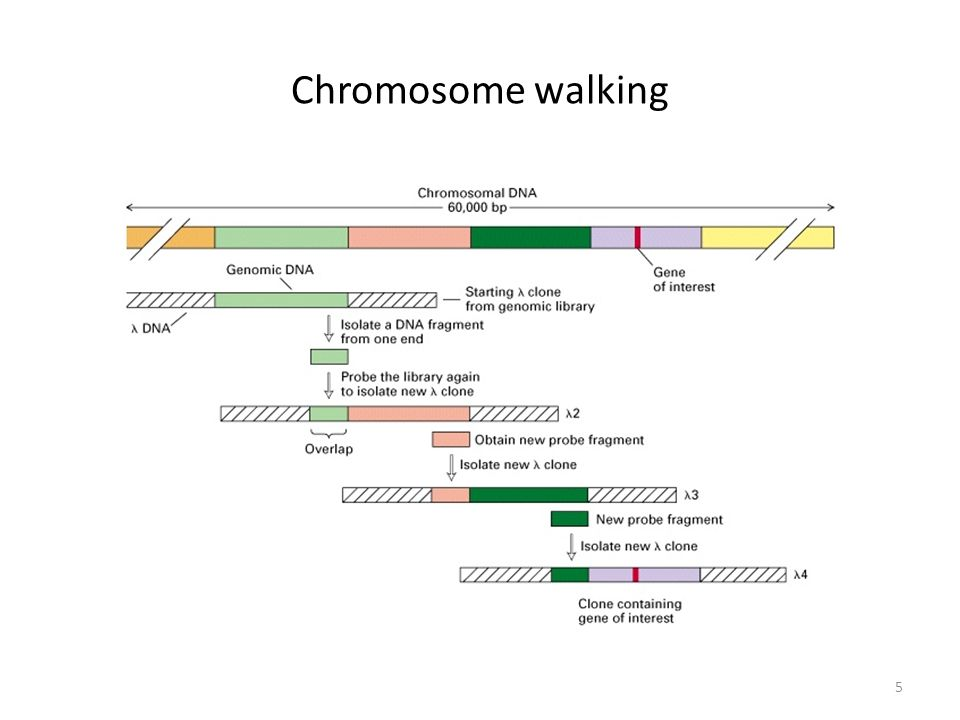 Chromosome walking 5