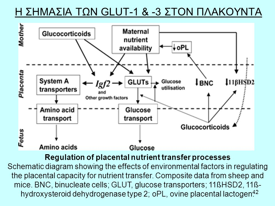 42 Η ΣΗΜΑΣΙΑ ΤΩΝ GLUT-1 & -3 ΣΤΟΝ ΠΛΑΚΟΥΝΤΑ Regulation of placental nutrient transfer processes Schematic diagram showing the effects of environmental factors in regulating the placental capacity for nutrient transfer.